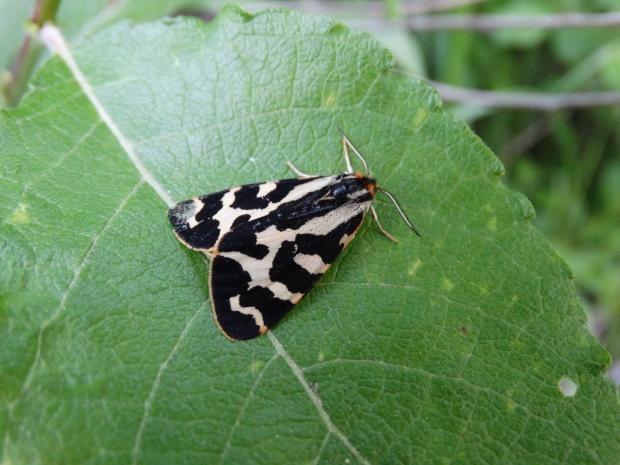 A white male wood tiger moth on a leaf.